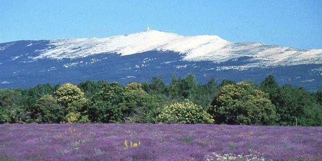 Mont Ventoux and Lavenders